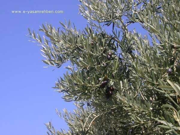 Zeytin ağacı ve zeytin meyvesi: (olea europaea l.)